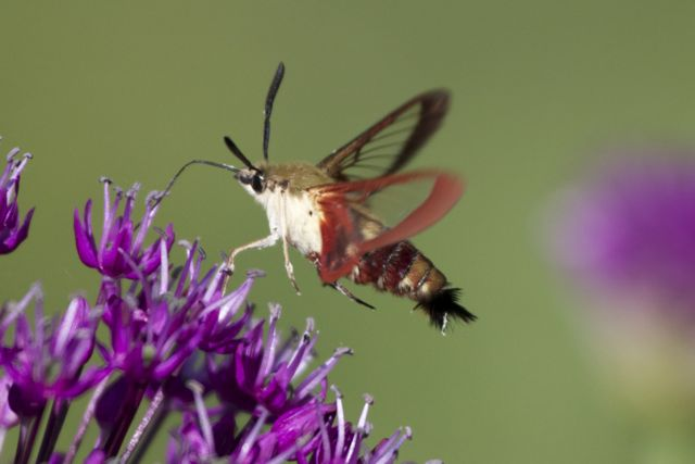 hummingbird-clearwing-moth-hemaris-thysbe
