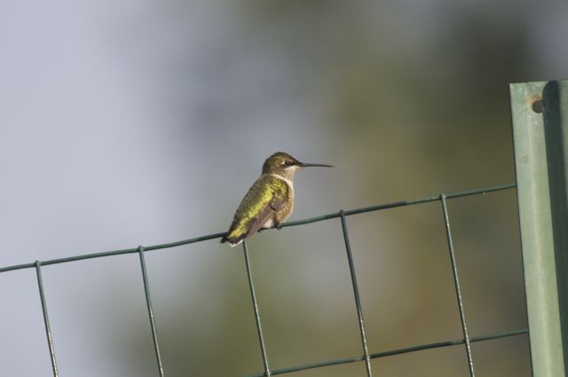 hummingbird-on-fence