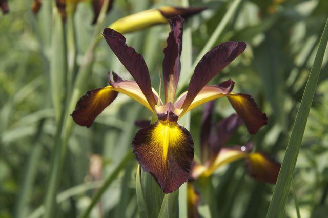 iris-spuria-sahara-2