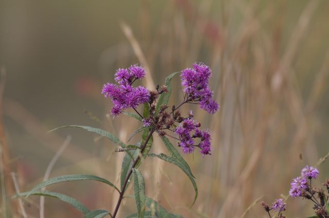 ironweed_0