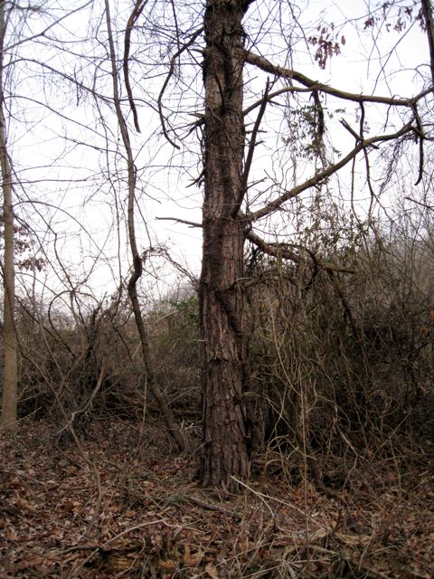 ivy-on-pine