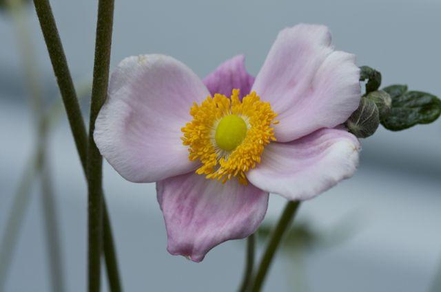japanese-anemone-anemone-hupehensis-var
