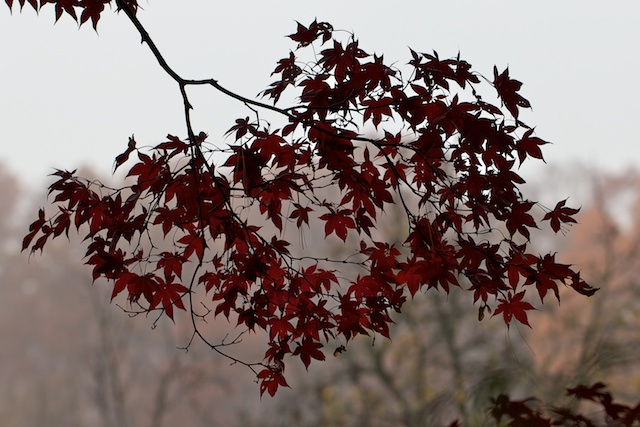 japanese-maple-leaves-in-outline