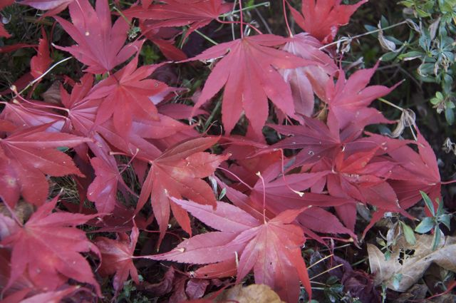 japanese-maple-leaves_0
