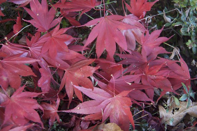 japanese-maple-leaves_0