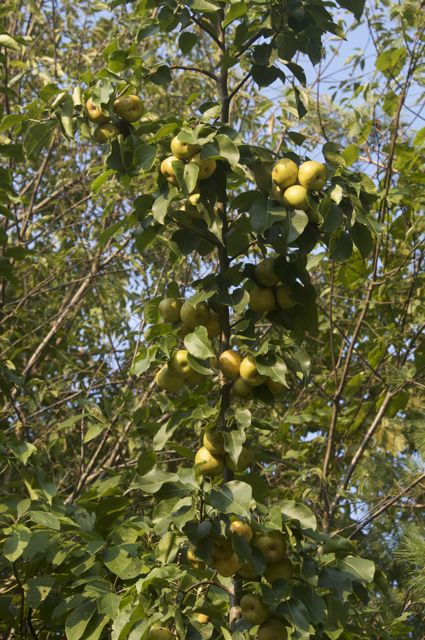 japanese-pear-2_0
