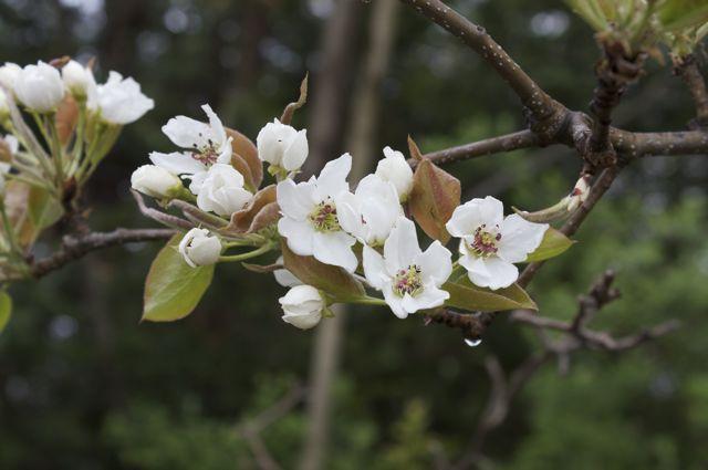 japanese-pear-blossom