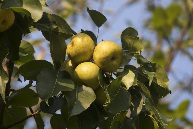 japanese-pear