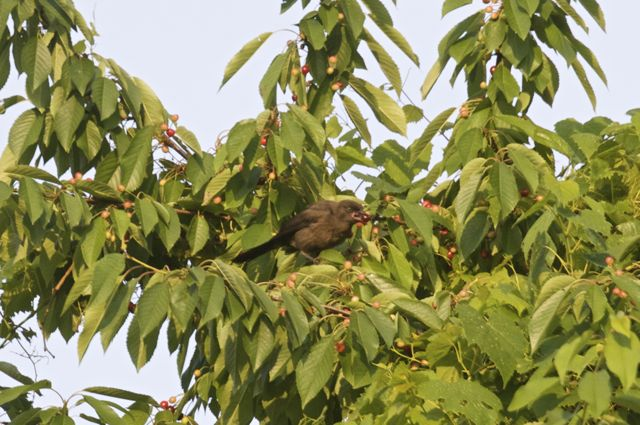 juvenile-grackle-sampling-cherries