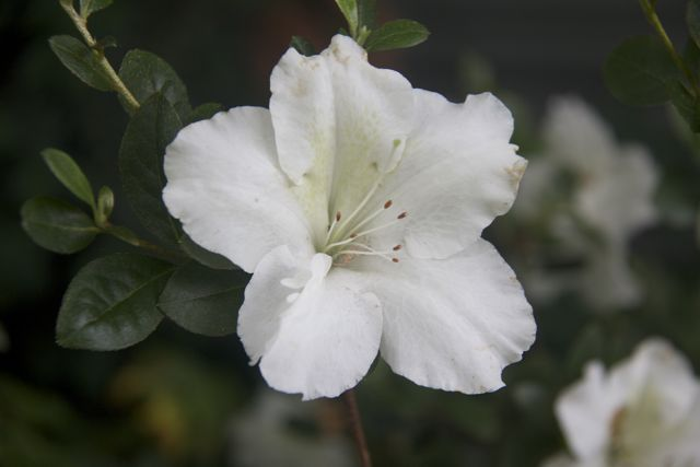 Late flowering White Azalea