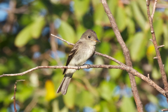 least-flycatcher-1_0
