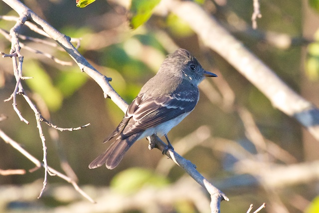 least-flycatcher_0