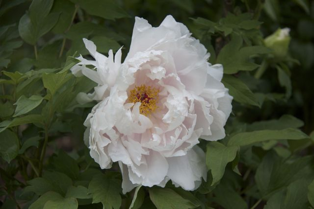 light-pink-tree-peony