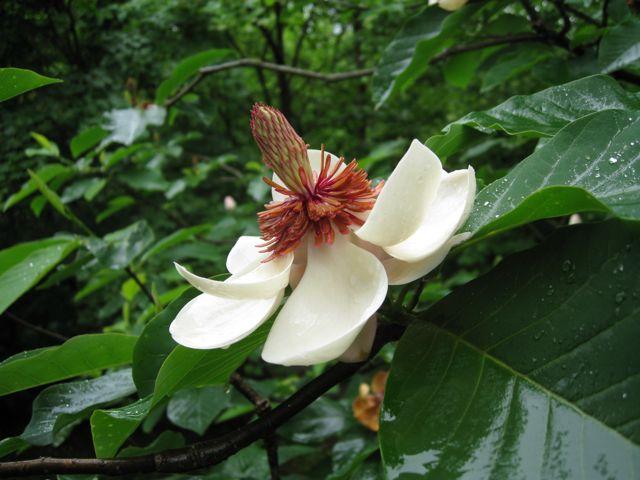magnolia-x-wieseneri