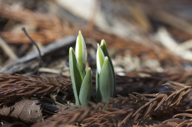 more-snowdrops-on-the-way_0