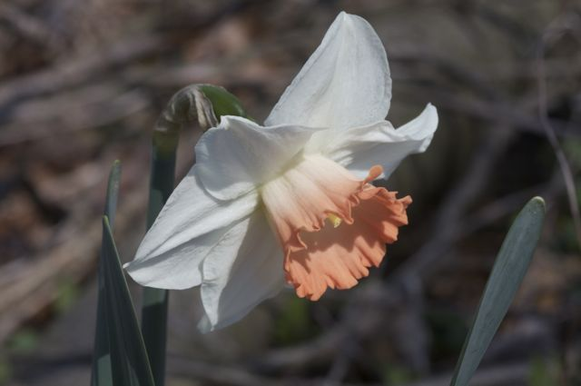 narcissus-chromacolor