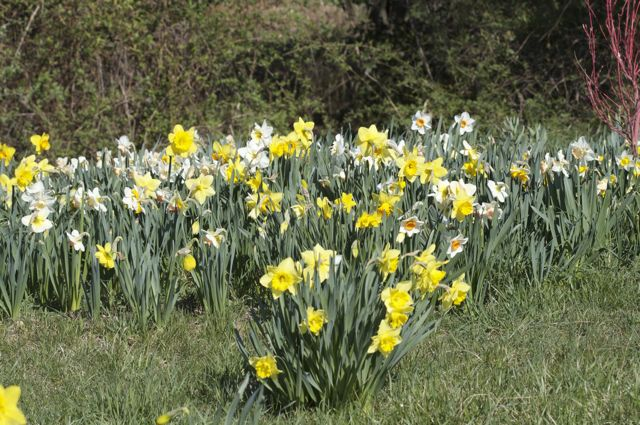 narcissus-hillside-grouping