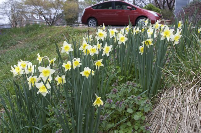 narcissus-smiling-twin-on-orchard-hill