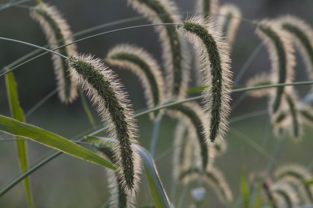 natures-ornamental-grass