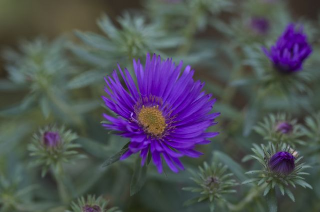 new-england-aster_0