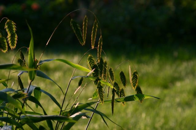 northern-sea-oats