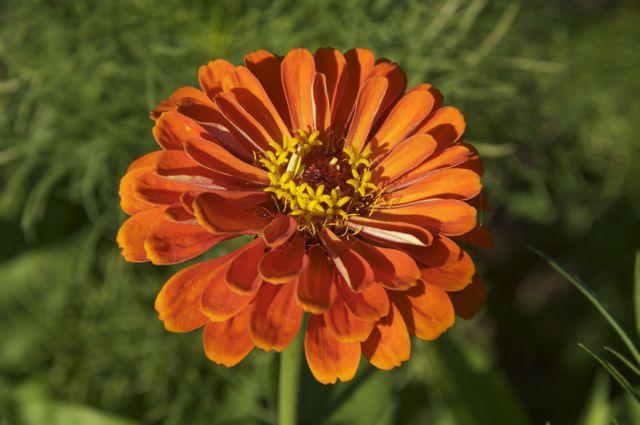 orange-zinnia_0
