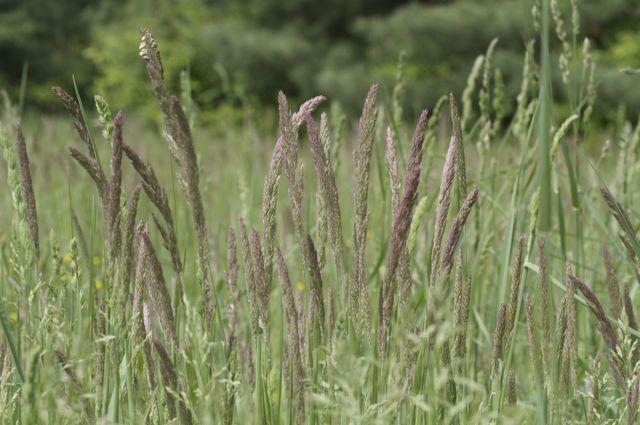orchard-grass