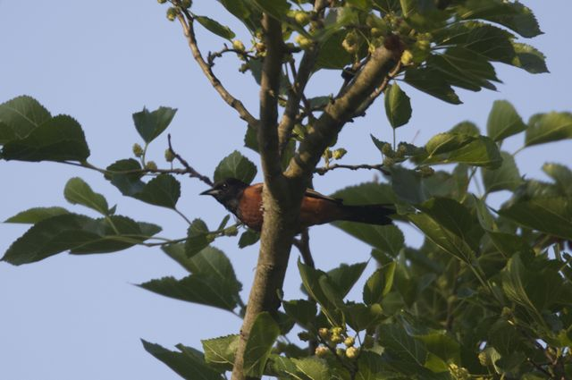 orchard-oriole-4_0