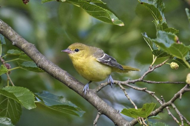 orchard-oriole-female