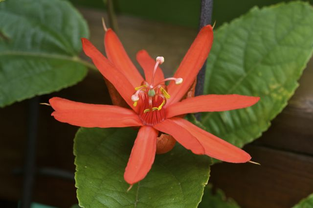 passion-flower-passiflora-piresii