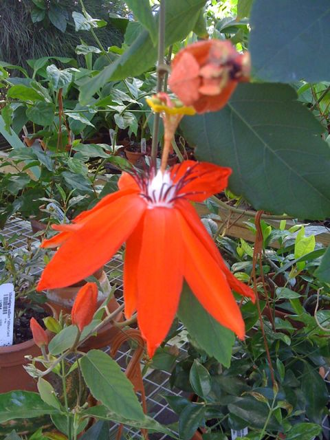 passion-flower_0