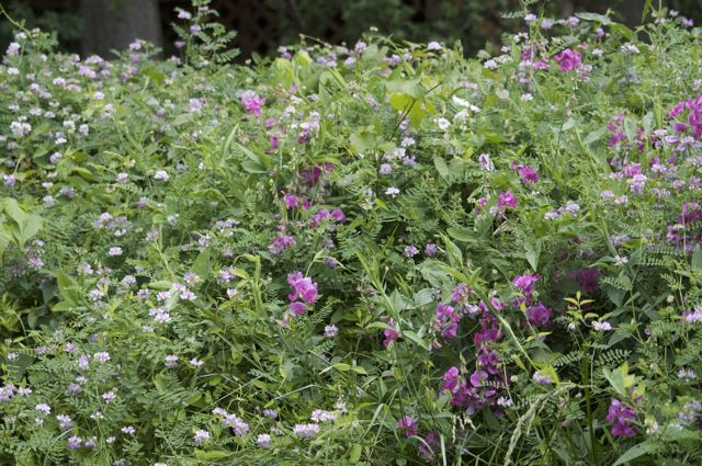 perennial-sweet-pea-crownvetch