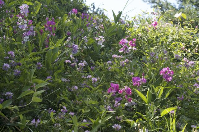 perennial-sweet-pea-on-the-bank