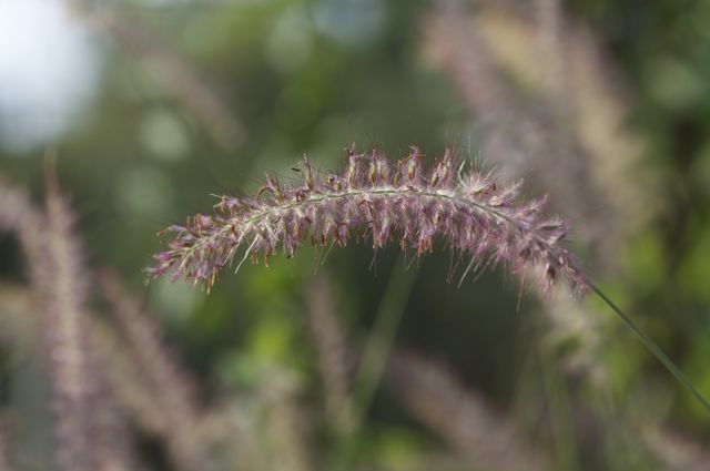 pink-fountain-grass