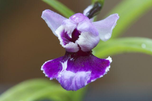ponerorchis-grammifolia