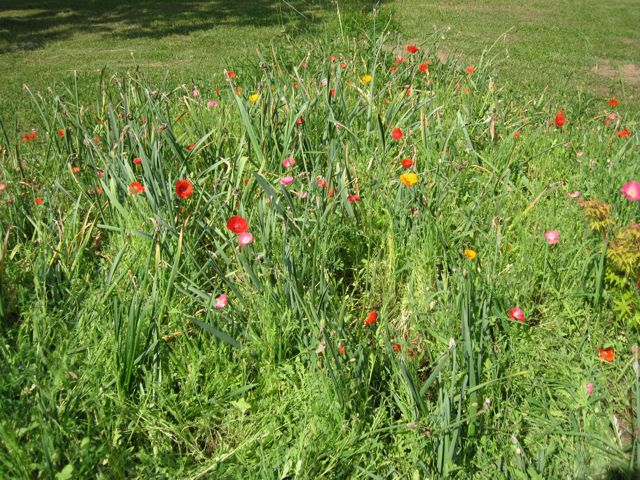 poppies-from-seed