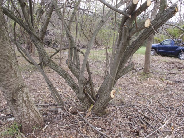 pruning-the-russian-olive_0