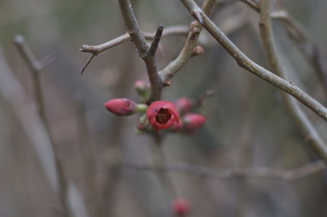 quince-bud