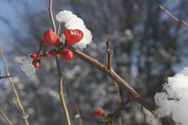 quince-in-the-snow
