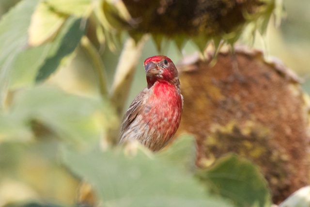 really-red-house-finch