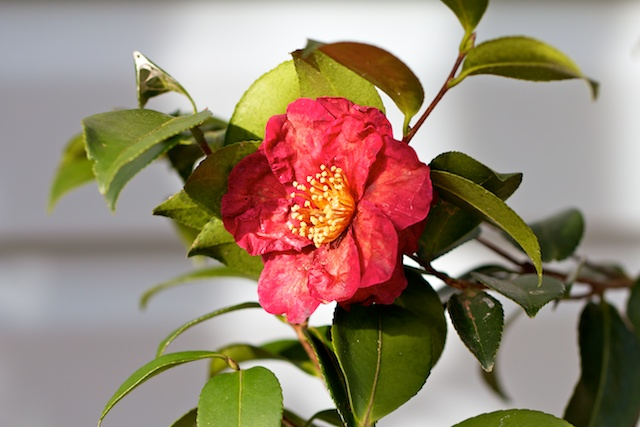 red-flowered-camellia-sasanqua-1