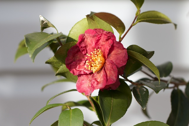 red-flowered-camellia-sasanqua