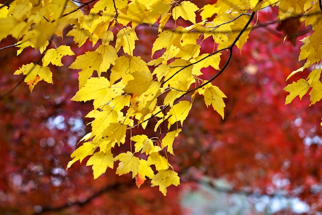 red-maple-with-yellow-fall-leaves