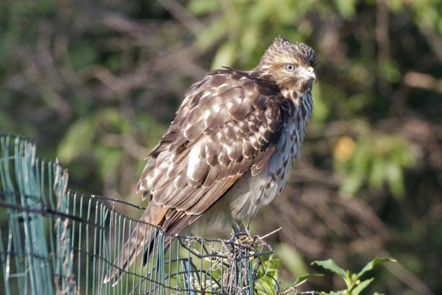 red-shouldered-hawk-2