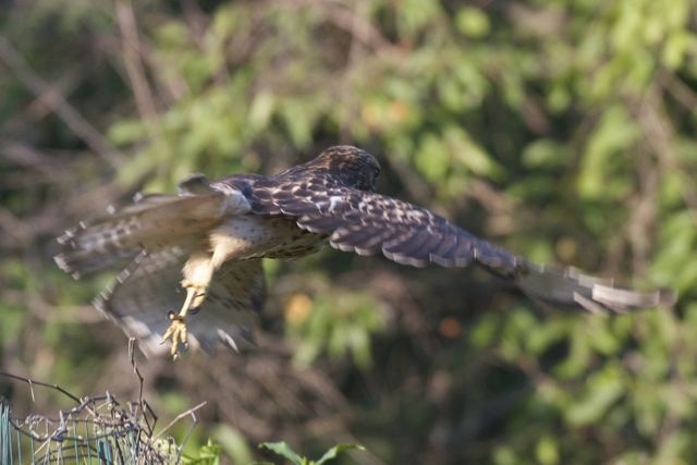 red-shouldered-hawk-3