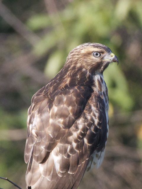 red-shouldered-hawk_0