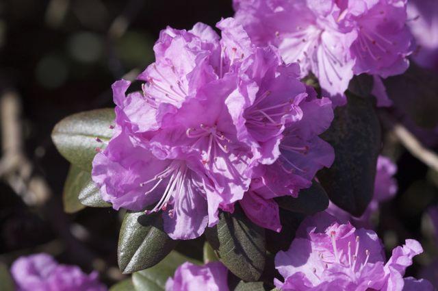 rhodedendron-carolinianum-flower