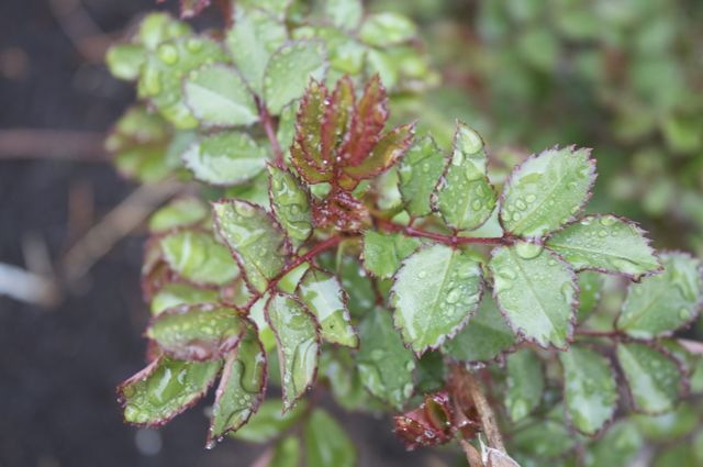 rose-leaves-in-rain