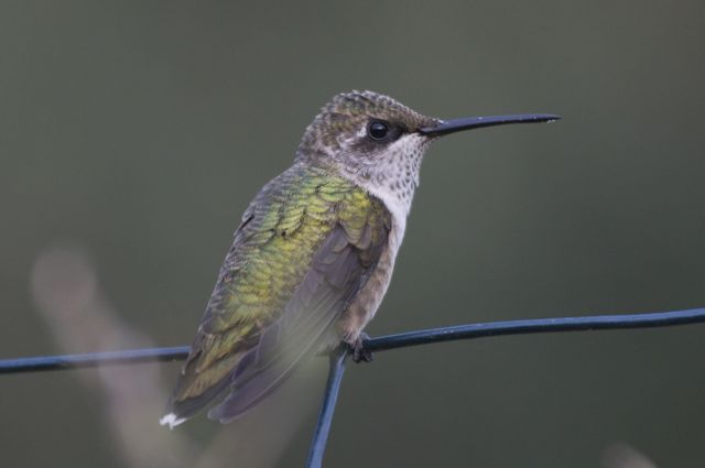 ruby-throated-hummingbird-2_0