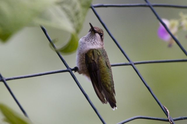 ruby-throated-hummingbird-3